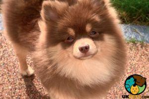 Pomeranians For Stud