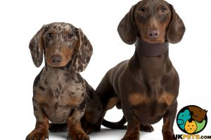 Dachshund Wanted in Great Britain