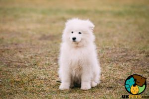 Samoyed Wanted in Great Britain
