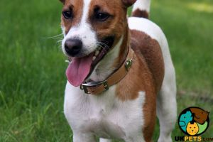 Cute Jack Russell Wanted