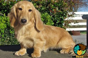 Miniature Dachshund Wanted in the UK