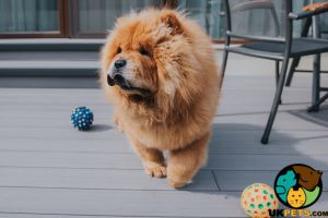 Chow Chow Wanted