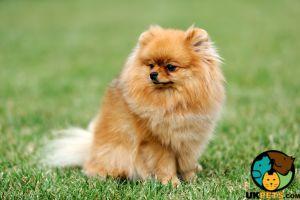 Pomeranian Wanted in Lodon