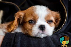 Cute King Charles Spaniel Wanted