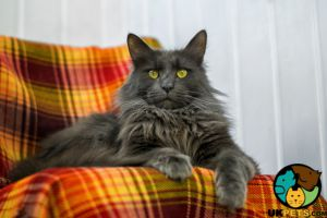 Maine Coon Wanted in Lodon