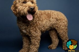 Cavapoos for Rehoming