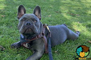 French Bulldog Wanted in the UK