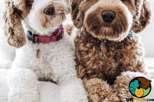 Labradoodles Wanted