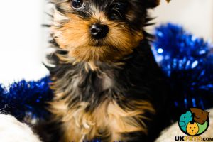 Yorkshire Terrier Advertisement UK Pets