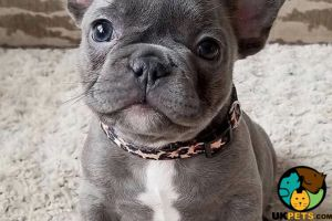French Bulldog Dogs Breed