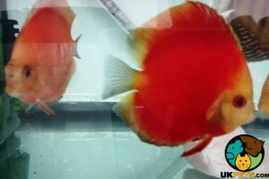 Discus Fish and Aquatic Breed