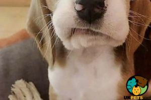 Beagle Online Listings