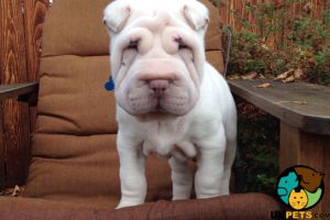 Shar Pei Wanted in Great Britain