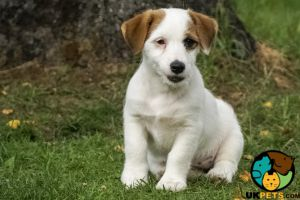 Jack Russells for Rehoming