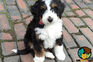 Bernedoodle Wanted in Great Britain