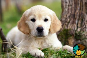 Golden Retriever Wanted in Great Britain
