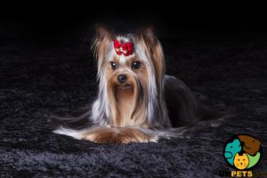 Yorkshire Terrier Wanted in Lodon