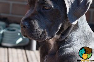 Cane Corso Wanted in Great Britain