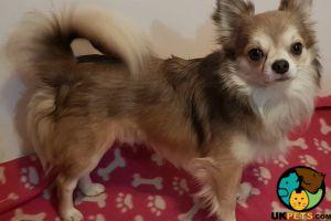 Chihuahuas For Stud