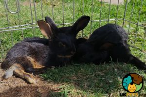 Belgian Hare For Sale in Lodon