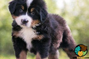 Cute Bernese Mountain Dog Wanted