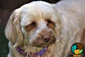 Cockapoo Dogs Breed