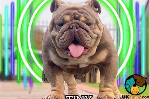 Cute English Bulldog For Stud