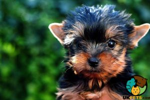 Yorkshire Terrier Wanted