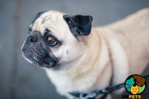 Pug Wanted in Lodon