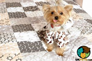 Yorkshire Terrier for Rehoming