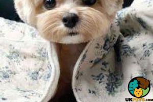 Shih Tzu Advertisement UK Pets