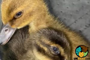 Ducks for Rehoming