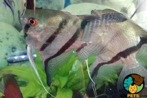 Angelfish Online Listings