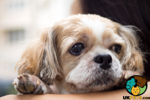 Shih Tzu Wanted in the UK