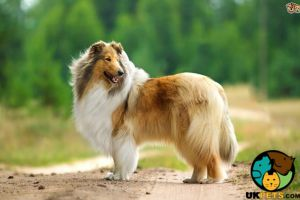 Rough Collie Wanted in Great Britain