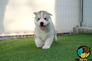 Siberian Huskies Wanted