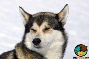 Siberian Husky Wanted