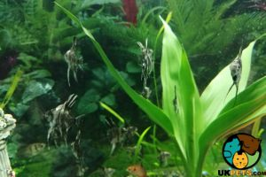 Angelfishes for Rehoming