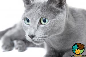 Russian Blue Advertisement UK Pets