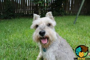 Miniature Schnauzer Wanted in the UK