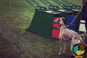 Cute Whippet For Stud