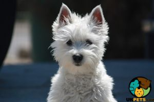West Highland Terrier Wanted in the UK