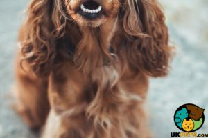WANTED cocker spaniel puppy for high energy family.
