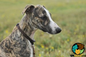 Whippets for Rehoming