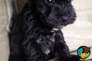 Miniature Schnauzer Wanted in Lodon