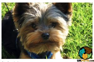 Available Yorkshire Terriers
