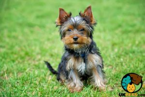 Yorkshire Terrier Wanted in Great Britain