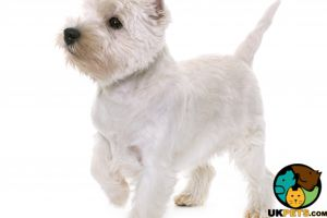West Highland Terriers Wanted