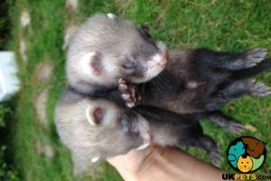 Ferret Dogs Breed