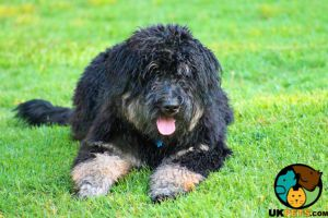 Bernedoodle Dogs Breed
